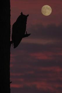 Moon_Owl