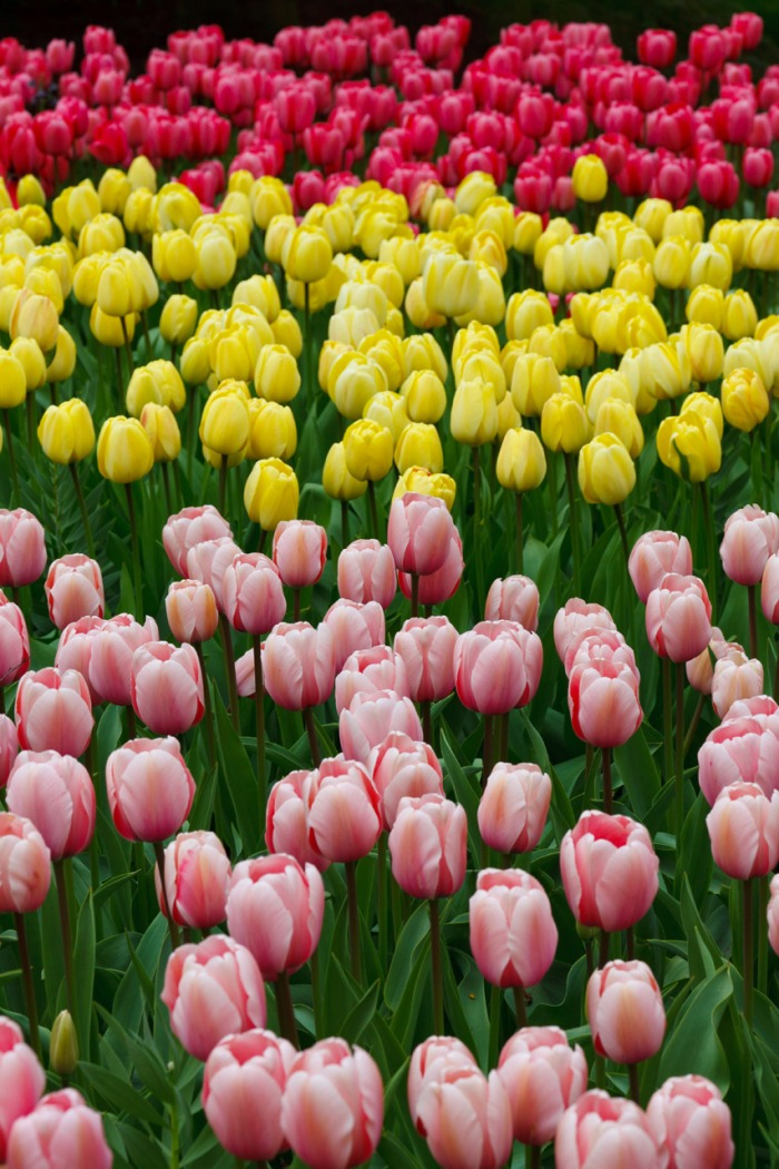 pink-yellow-and-red-tulips