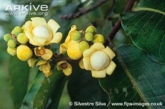 Brazil nut tree flowers