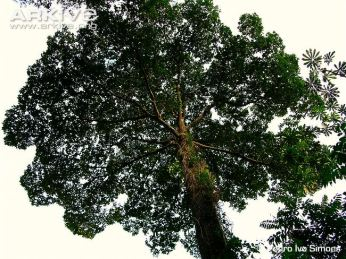 The Brazil nut tree