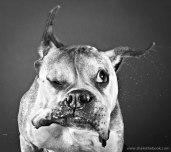 dogs-mid-shake-by-carli-davidson-2