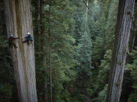 Climbing Redwoods
