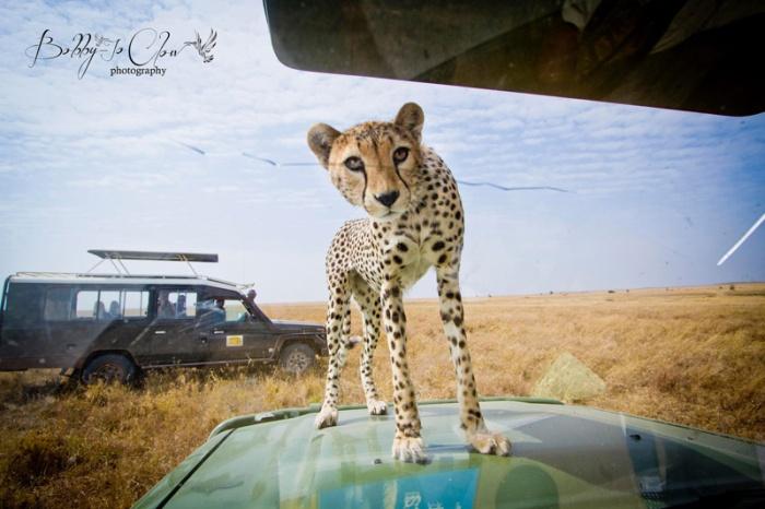 close-encounter-with-a-curious-cheetah-2