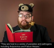 The Perigrine Falcon 05