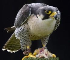 The Perigrine Falcon 06