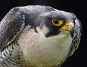 The Perigrine Falcon 08